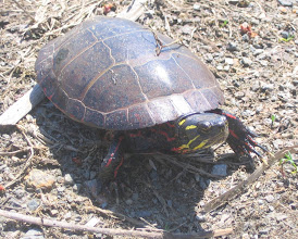 Photo: Painted Turtle 4.15