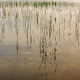 by Stephen  Barker - Nature Up Close Other plants ( pond, minimal, stark, reeds, reflections )