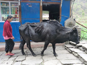 Photo: Old and slow cow