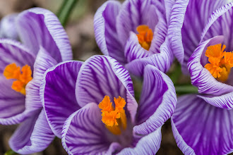 Photo: Blooming crocus in North Point Park, Cambridge, MA, USA