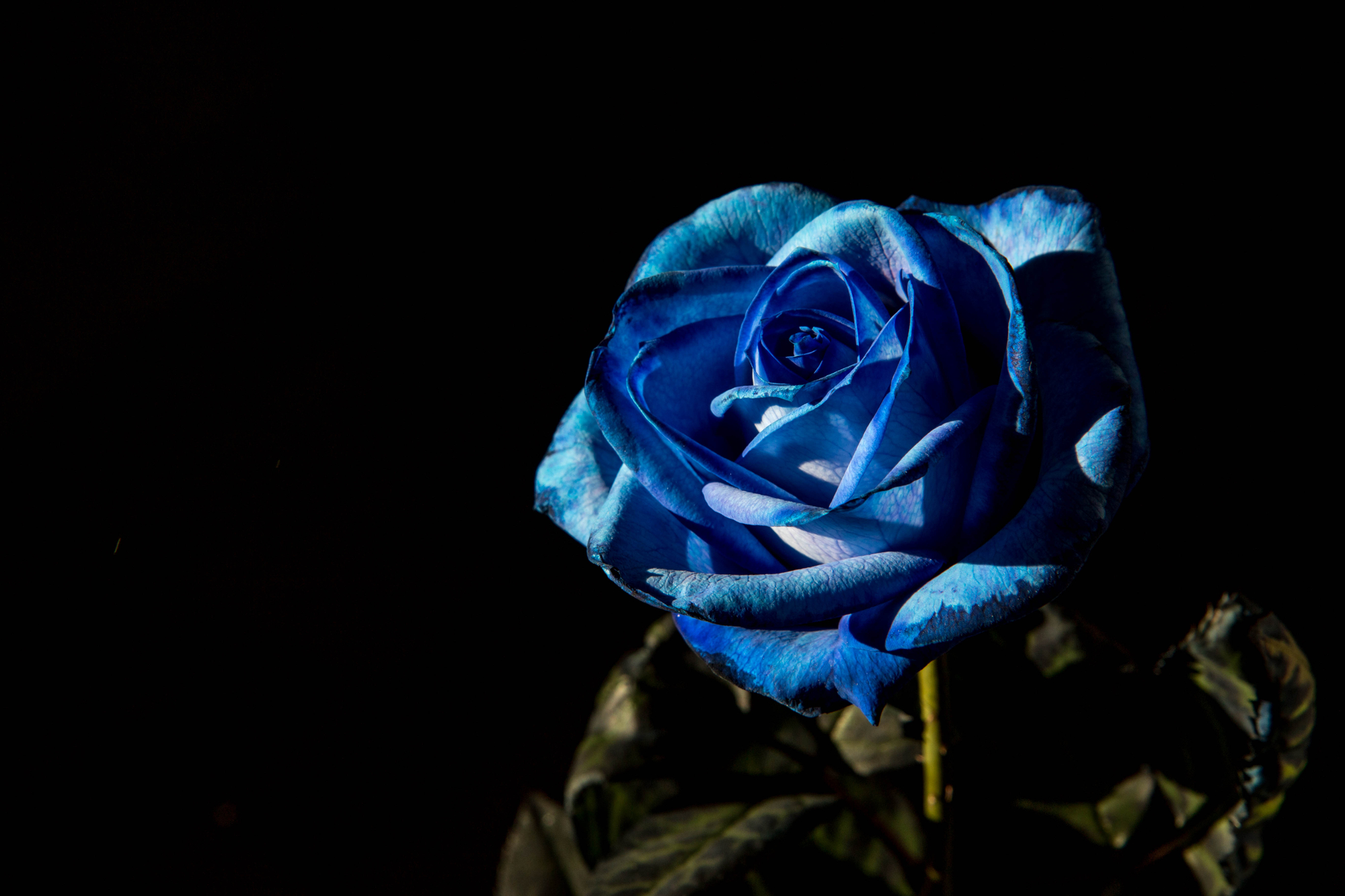 Una rosa blu di Andrea Calò