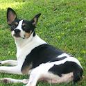 Rat Terrier icon