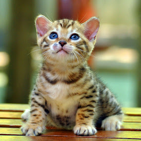 Little Tiger by Cacang Effendi - Animals - Cats Kittens ( cats, cattery, kitten, chandra, animal, pwc84, baby, young )