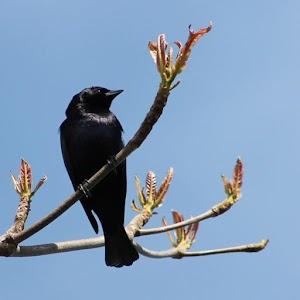 Canto Pássaro Preto (Graúna)