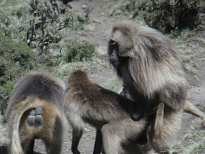 Photo: More Gelada...