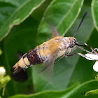 Oriental Bee Hawk Moth