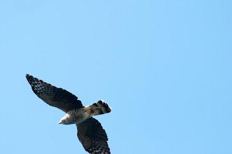 Photo: Gray Hawk (Zweibindenbussard); Bacalar, QROO