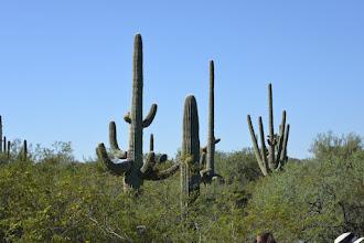 Photo: Cactus saguaros.