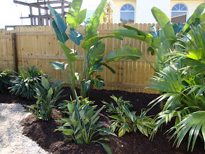 Photo: Lady Palms, Bird of Paradise, White Bird of Paradise, Variagated Gingers and Chinese Fan Palms