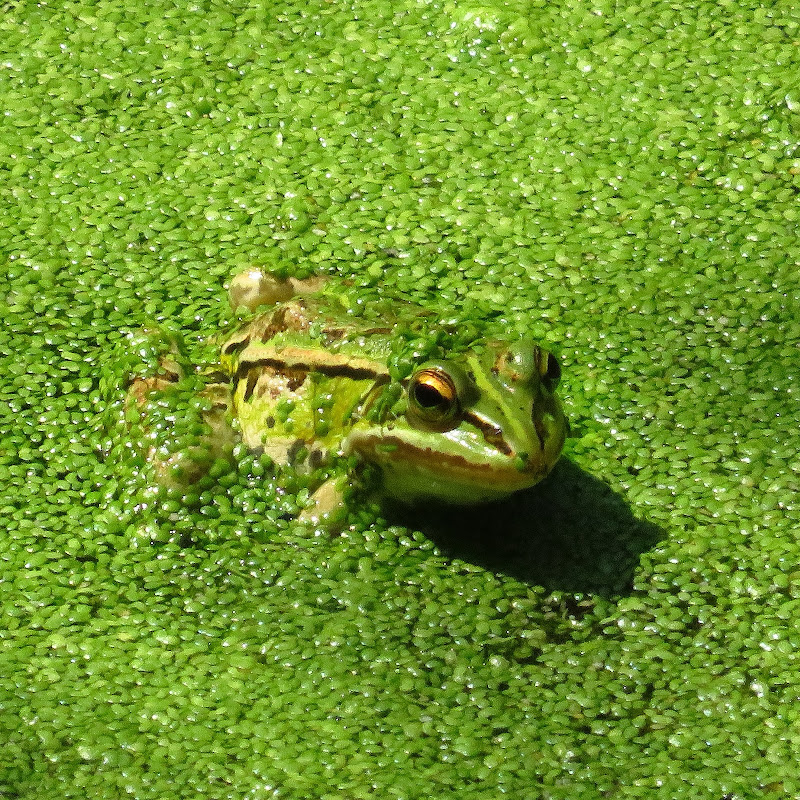 Greenfrog in greenlake di 47738asi