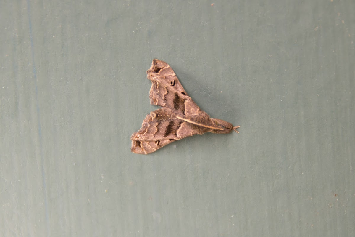 Faint-spotted Palthis Moth