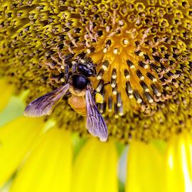 Sunflower  by Prithviraj Shetty - Flowers Single Flower ( sunflower macro photography closeup morning bee honey flower )