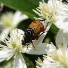 Delta Flower Scarab (mating)