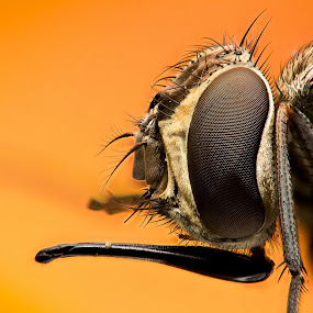 Hose by AhMet özKan - Animals Insects & Spiders ( canon, hose, macro, raynox, fly, stacking )
