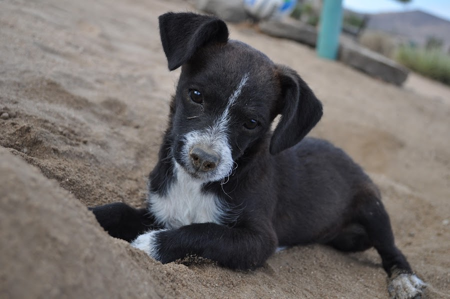 Pensive by Savannah Eubanks - Animals - Dogs Puppies