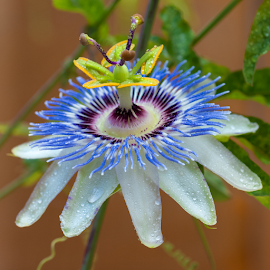 by Judy Rosanno - Flowers Single Flower ( passion flower,  )