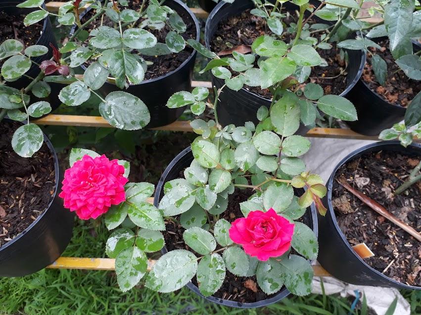 Hồng ngoại Red Piano rose tốc độ phát triển ổn định, ít đốm lá, khá giống với hồng leo Red Eden