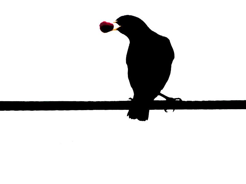 Merlo in  silhouette  di Capirizzo