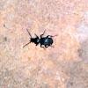 Curculionoidea Weevil