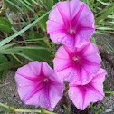 Railroad Vine or Beach Morning Glory
