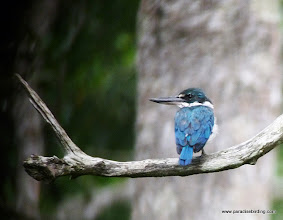 Photo: Collared Kingfisher, Labuk Bay