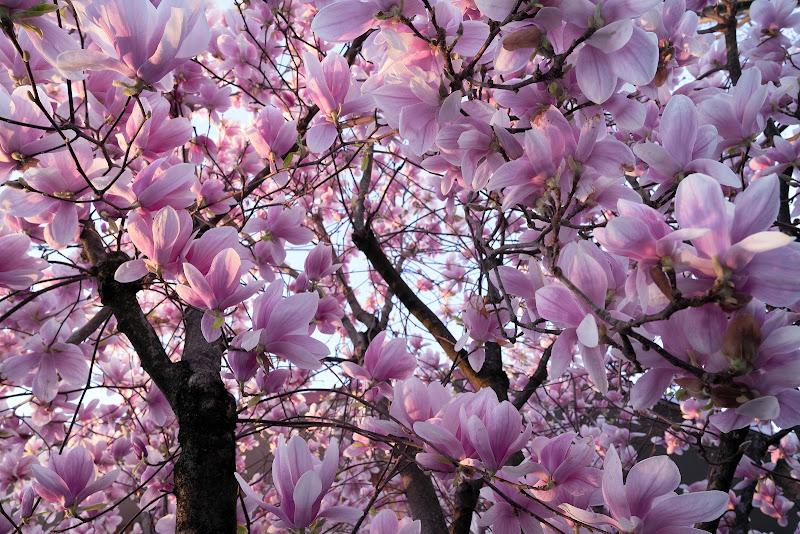 Entusiasmo rosa di Inazur