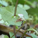 Pixie Cap Orchid