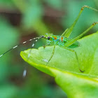 Fort-tailed katydid, (nymph)