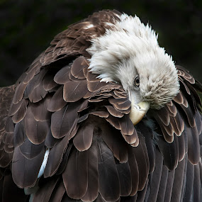 Preening by Tom Theodore - Animals Birds