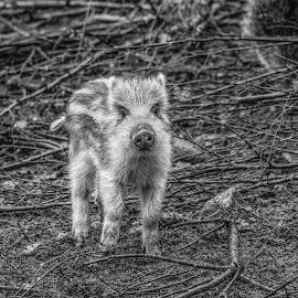 Piglet by Garry Chisholm - Black & White Animals ( wild boar, nature, piglet, ranua, finland, garry chisholm )
