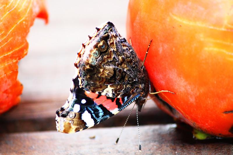 La bellezza della Farfalla  di Uomoz