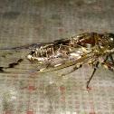 Unidentified Cicada