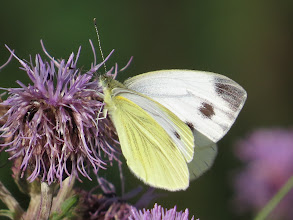 Photo: 26 Jul 13 Priorslee Lake: 'just' a Large White but on this fresh specimen look how dusted with yellow it is. Often possible to find Green-veined White or female Orange-tips by how white, as opposed to cream, they look in flight. (Ed Wilson)