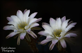 Photo: Good morning all!!  Night blooming cactus flowers... © Saija Lehtonen Photography #Floral #Macro #Nature #Photograph #Fineart #Flowers #Cactus