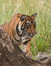 Photo: Please respect all Nature! #raymondbarlow   Royal Bengal Tiger on a Tree RJB India Photo Tours www.raymondbarlow.com  Please change your culture to protect these beautiful animals for future generations to enjoy!  For prints - ray@raymondbarlow.com   #india #tiger  #bengal #indianature  #royalbengal  #wildlife #nature  #ranthambore  #raymondbarlow #naturephotos  #bengaltiger #tigers #animal #animallovers #animalphotography  #nature #phototour  #raymond  #green #nature #naturephotography  #phototours  #wildlife  #travel #adventure  #whatshot  #wildlifephotographers #wildlife  #canadianphotographer