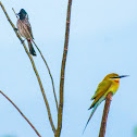Blue-tailed Bee-eater (w/ Red-vented Bulbul)