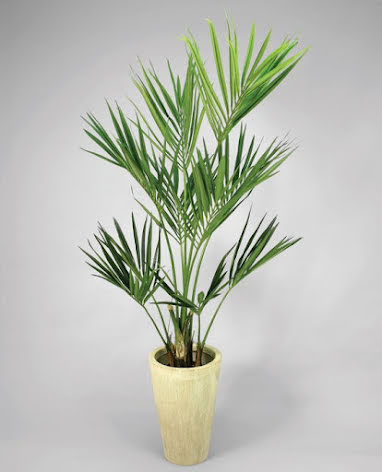 Kentia Palm - 120cm - 200cm