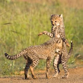 Lets Play by Hilton Kotze - Animals Lions, Tigers & Big Cats ( mammals, animals, pwcbabyanimals, wildlife, {acinonyx jubatus}, predator, cheetah, carnivore, environment, nature, conservation, africa, safari animals )