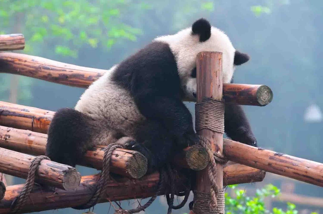 Картинки по запросу sleepy panda