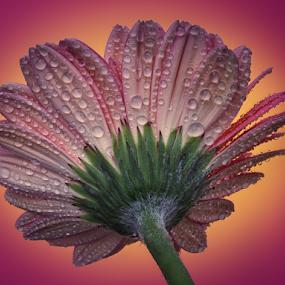 by Sam Song - Flowers Single Flower