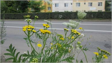 Photo: Vetrice (Tanacetum vulgare) - din Turda, de pe Calea Victoriei - 2018.07.23