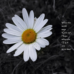Never give up... by Akbar Ali Asif - Typography Captioned Photos ( pakistan, daisy, captioned shots, typography, flowers, hope )