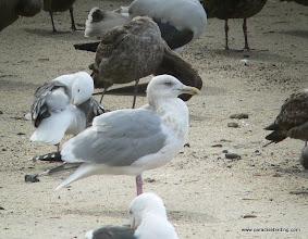 Photo: Adult Herring Gull; northern San Diego County coast