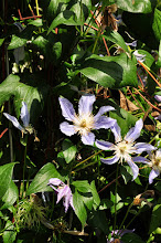 Photo: Clematis 'Country Rose' 2