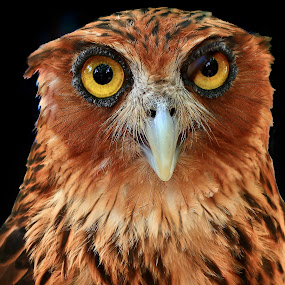 Red owl by Wilfredo Garrido - Animals Birds ( red owl, owl, birds )