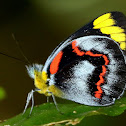 Black Jezebel butterfly