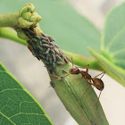 Carpenter ant and Treehoppers