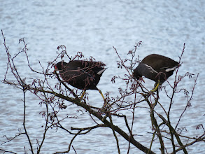 Photo: 17 Jan 14 Priorslee Lake Amazing how agile Moorhens are in climbing about vegetation. Coots, with those strange lobed feet, never do this. (Ed Wilson)