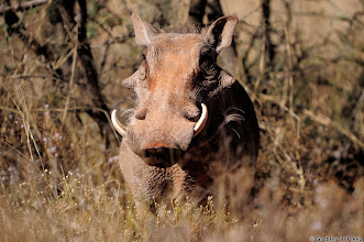 Photo: What are you looking at? Warthog in the Mokala National Park.