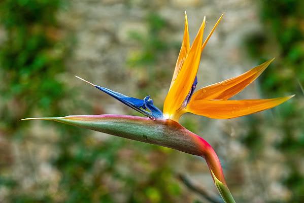 Uccello del paradiso di francesca_pannuzzo